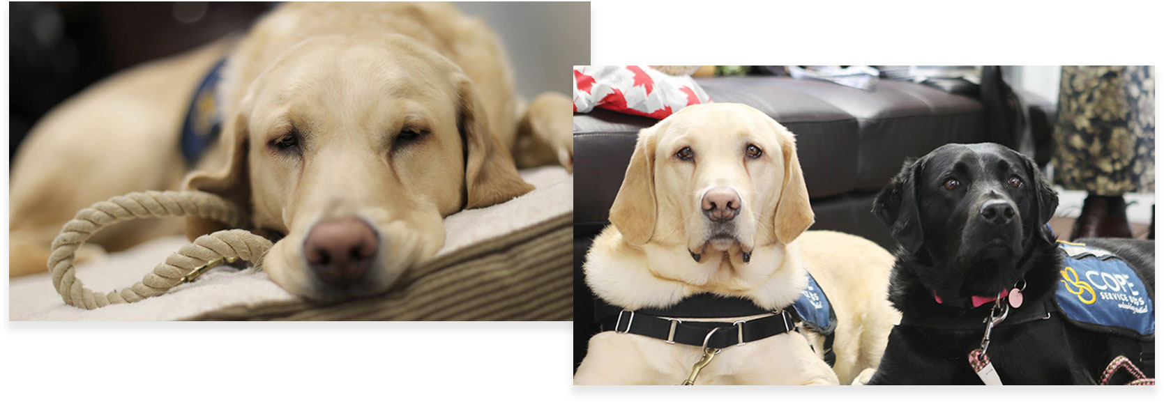 moose and beacon (our service dogs)